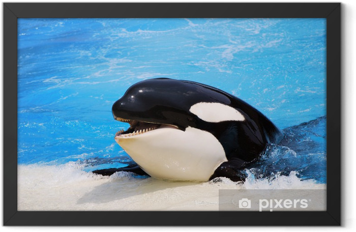 Killer whale Framed Poster - Aquatic and Marine Life