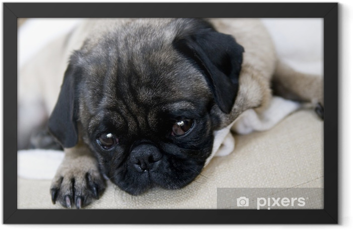Pug with Sad Expression Framed Poster - Pugs