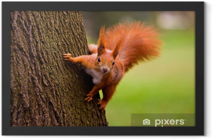 Red squirrel in the natural environment Framed Poster - Mammals