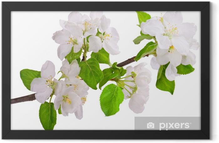 Flowering branch of apple-tree Framed Poster - Apple trees