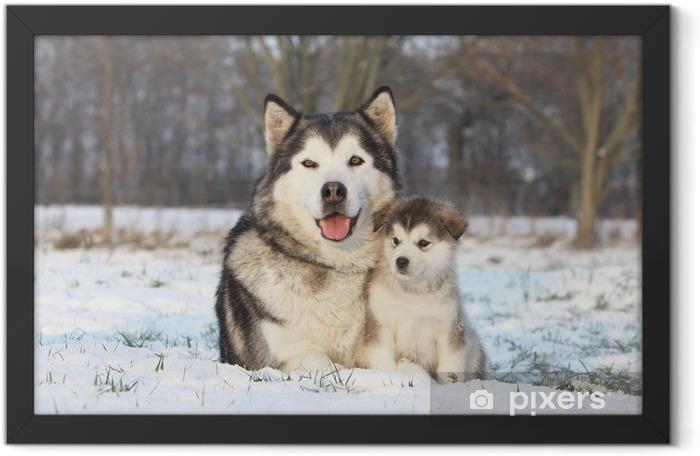 Poster en cadre Alaskan malamute ET SON DANS LA NEIGE bébé - Chiens