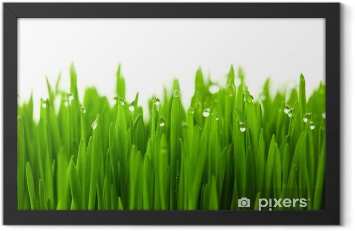 Plakat w ramie Świeża zieleń trawy pszenicy z kropli rosy / na białym tle z - iStaging