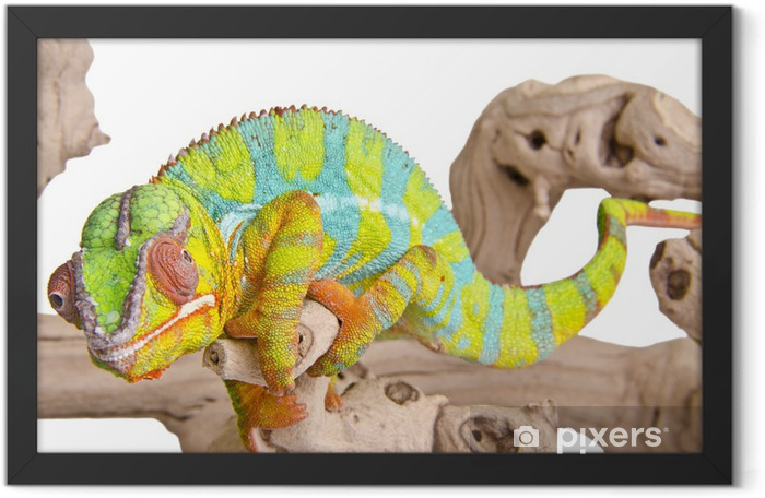 Colorful chameleon. Framed Poster - Themes