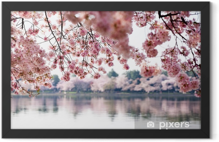 Cherry Blossoms over Tidal Basin in Washington DC Framed Poster - Themes
