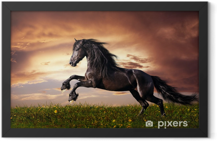 Plakat w ramie Czarny koń fryzyjski w galopie -