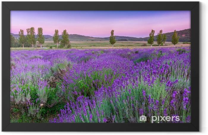Sunset over a summer lavender field Framed Poster - Herbs