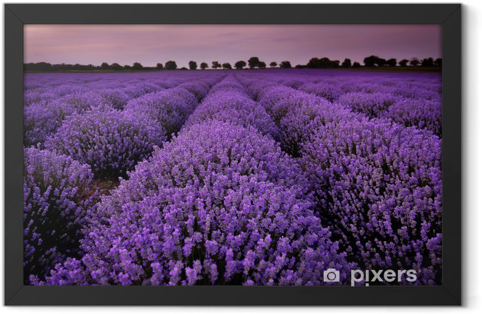 Fields of Lavender at sunset Framed Poster - Themes