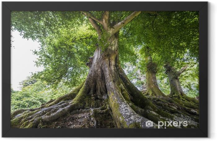 Plakat w ramie Wielkie stare drzewo - Przeznaczenia