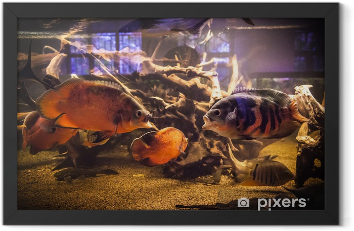 Poster en cadre Banc de poissons de piranha dans un aquarium - Animaux marins