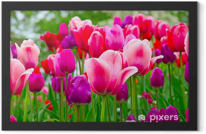 Plakat w ramie Tulipany - Tematy