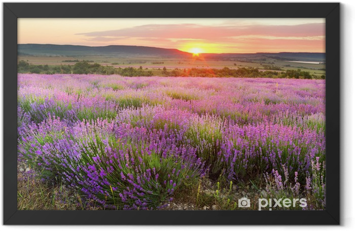Lavender meadows Framed Poster - Themes