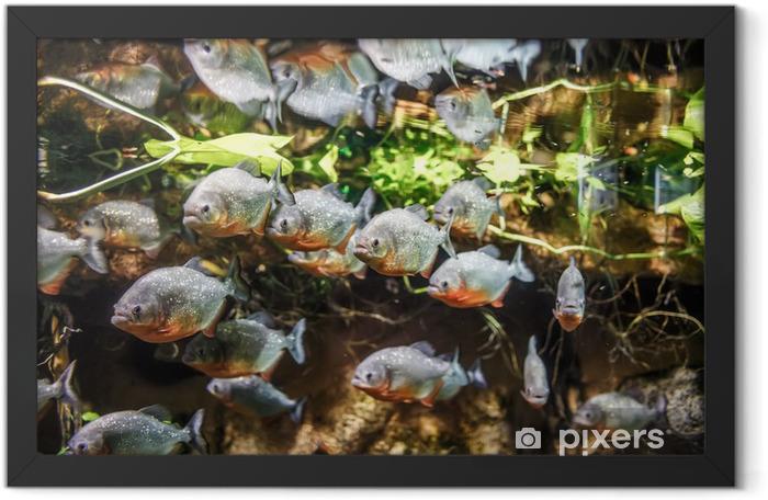 Poster en cadre Piranha - Colossoma macropomum - Animaux marins