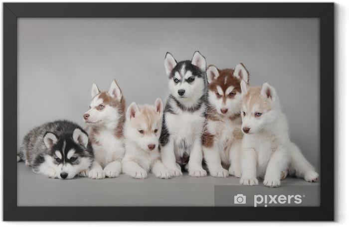 Plakat w ramie Siberian husky szczeniak - Husky