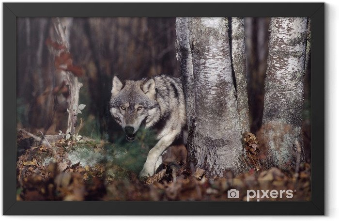 Gray wolf in forest Framed Poster - Wolves
