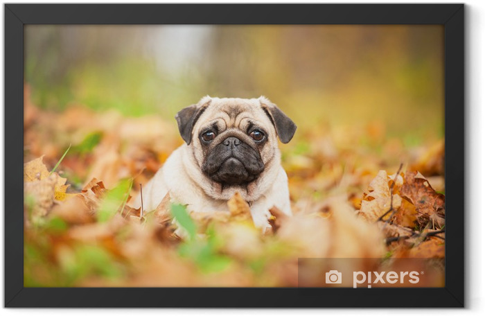 Beige pug dog lying on the leaves in autumn Framed Poster - Pugs