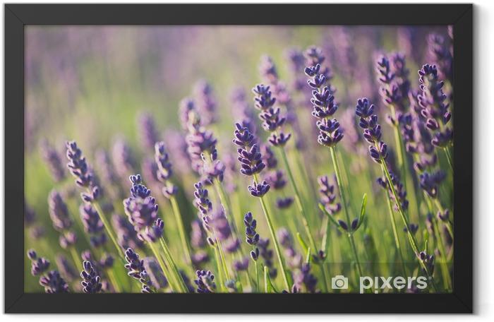 Plakat w ramie Lawenda - Kwiaty