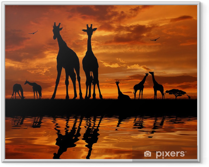 herd of giraffes in the sunset Framed Picture - Themes