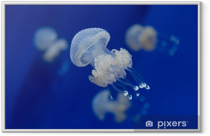 medusa jellyfish underwater diving photo egypt red sea Framed Picture - Animals