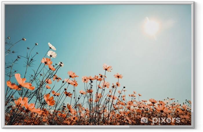Vintage landscape nature background of beautiful cosmos flower field on sky with sunlight in spring. vintage color tone filter effect Framed Poster - Landscapes