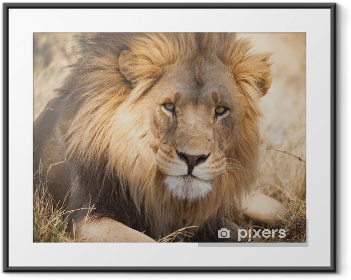 Large lion in Zambia, Africa Framed Poster - Themes
