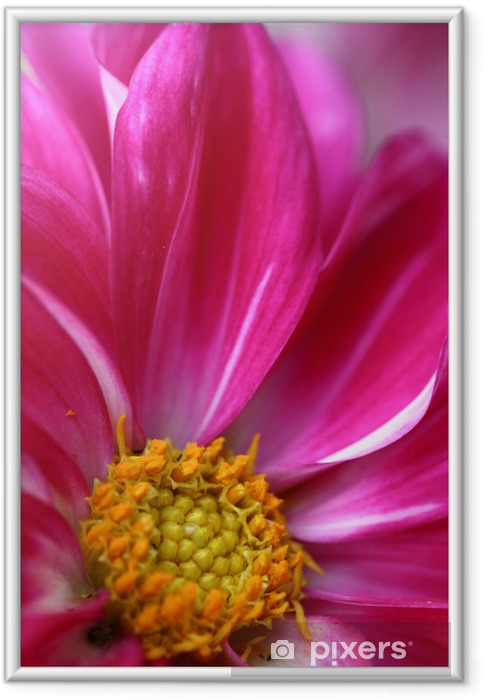 Plakat w ramie Daisy różowy kwiat z bliska - Tematy