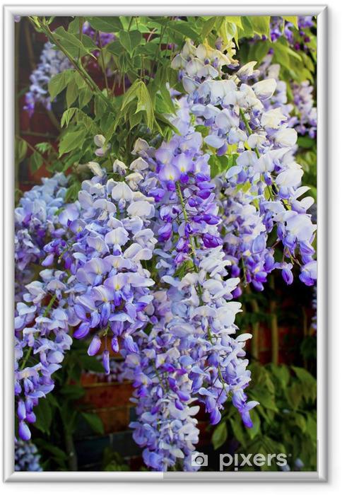 Plakat w ramie Zbliżenie kaskadowych sinensis Wisteria bzu (glicyny) - Dom i ogród