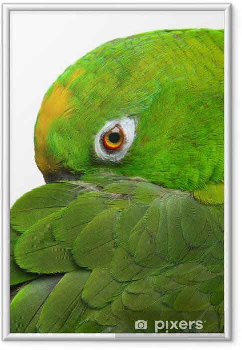 Poster en cadre Amazon parrot - Thèmes