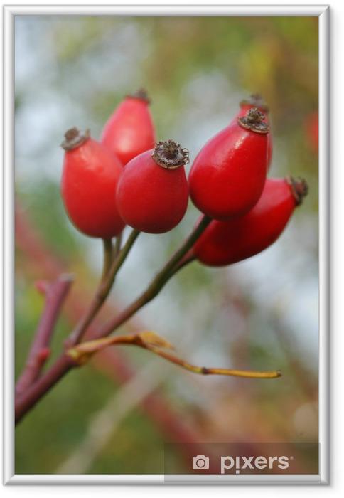 Poster en cadre Rose hip - Plantes