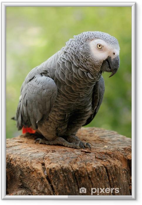 Poster en cadre Perroquet gris du Gabon - Thèmes