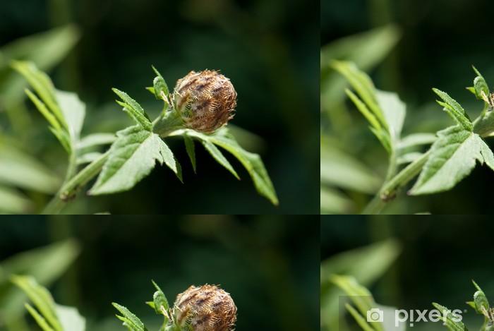 Tapete Blutenknospe Der Zweifarbigen Flockenblume Centaurea