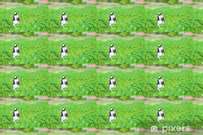 Vinyltapete nach Maß Husky läuft über grüne Gras - Säugetiere
