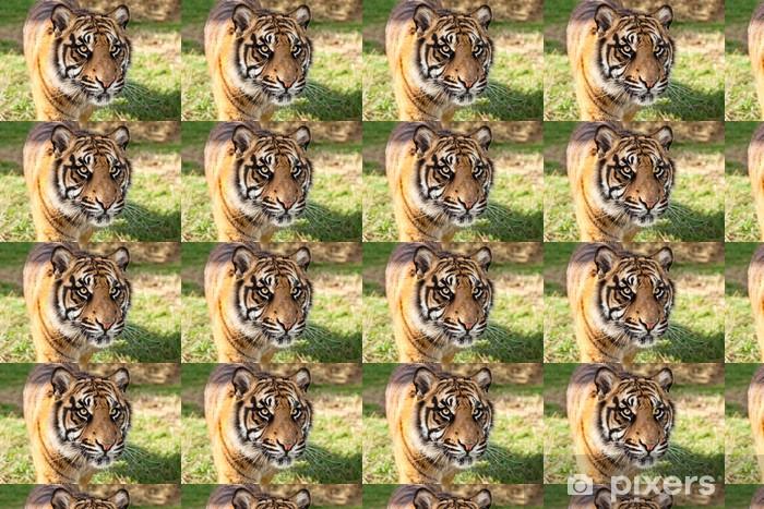 Papier peint vinyle sur mesure Gros plan de tigre de Sumatra en après-midi de soleil - Mammifères