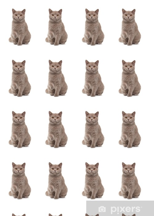 Vinylová tapeta na míru Mladá britská kotě na bílém pozadí - Témata