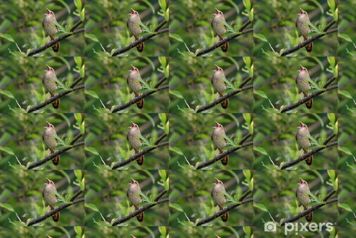 Papel de parede em vinil à sua medida Songbird (River Warbler) singing in its natural behavior. - Pássaros