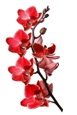 orchid isolated on white background Wall Decal