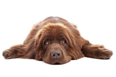 Veggklistremerke Brun newfoundland hunden isolert på hvit bakgrunn