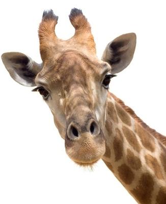 Naklejka na ścianę Żyrafa z bliska
