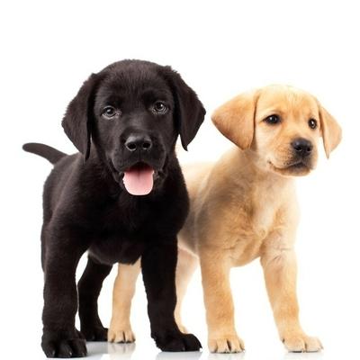 Muursticker Twee leuke labrador puppy
