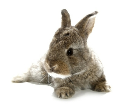 Gray rabbit bunny baby isolated on white background Framed Poster