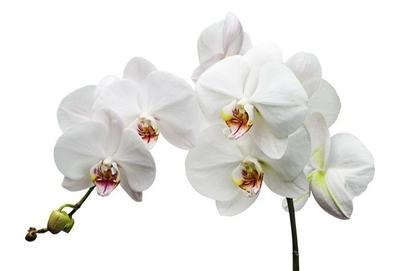 Naklejka na ścianę Oddział z białych kwiatów orchidei