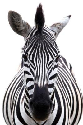 Naklejka na ścianę Zebra