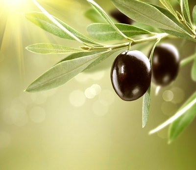 Growing Olives. Black Ripe Olive on a Tree Framed Poster