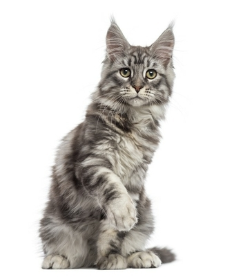 Decalque de Parede Maine Coon (2 years old) sitting, pawing and looking away