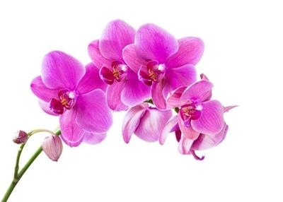 Duvar Çıkartması Orkide
