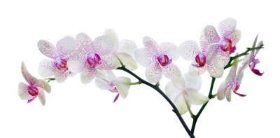 light color orchid flower in pink spots on white Wall Decal