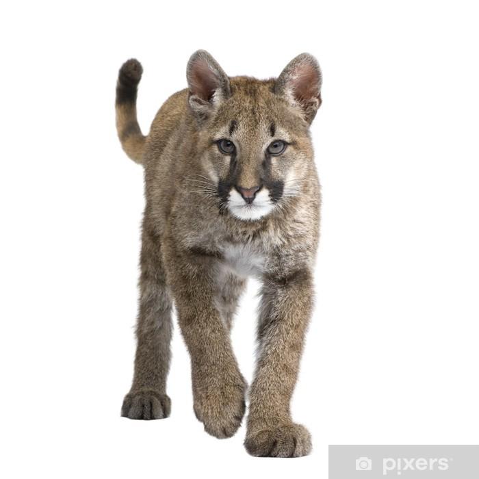 Naklejka Pixerstick Puma cub - Puma kalifornijska z przodu na białym tle - Ssaki