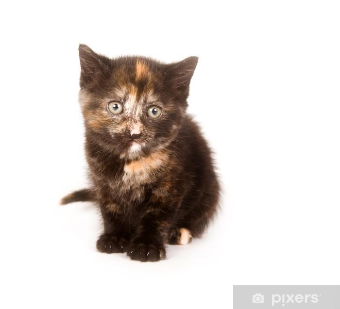 Sticker Pixerstick Un chaton tarte colorée que quelques étoiles semaines, est à la caméra - Mammifères