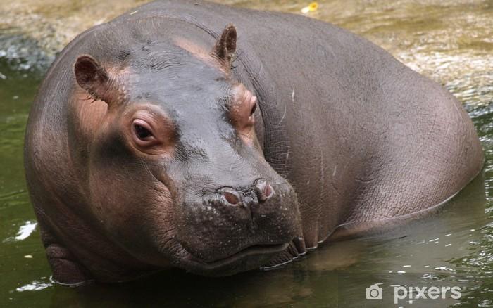 Fototapeta winylowa Młody hipopotam w zoo - Ssaki