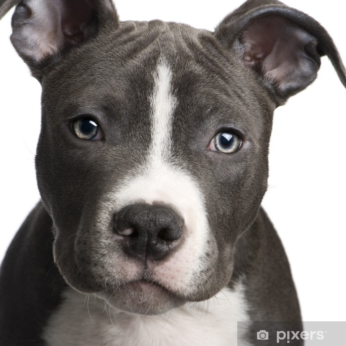 American Staffordshire terrier puppy (3 months) Poster - iStaging