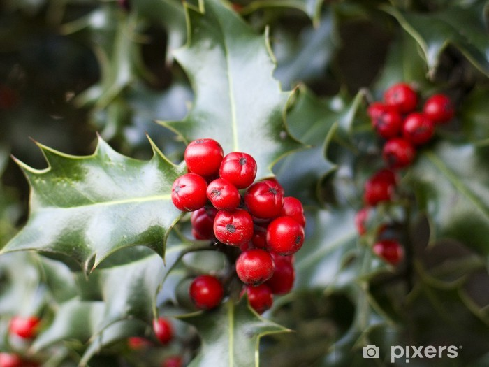Red Berries From A Holly Tree Wall Mural Pixers We Live To Change
